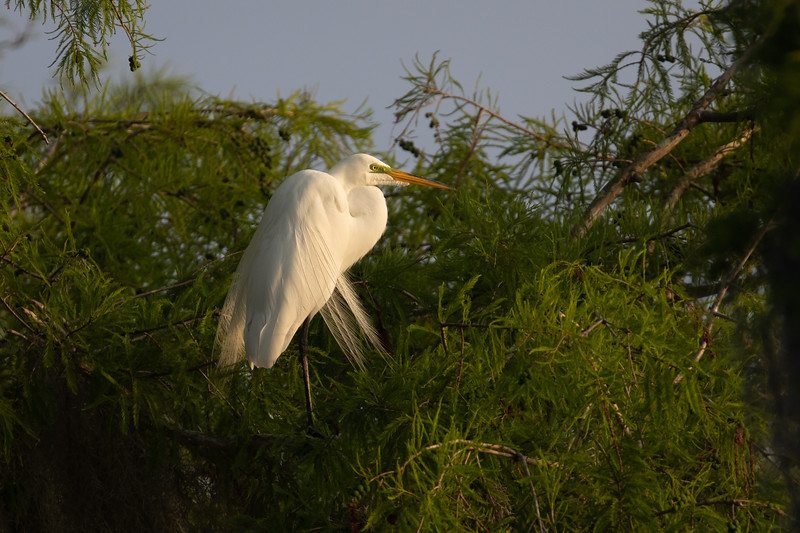 Wild Great Egret in Breeding Plummage
