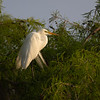 Wild Great Egret in Breeding Plummage