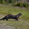 Wild River Otter at Viera Wetlands