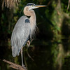 Wild Great Blue Heron