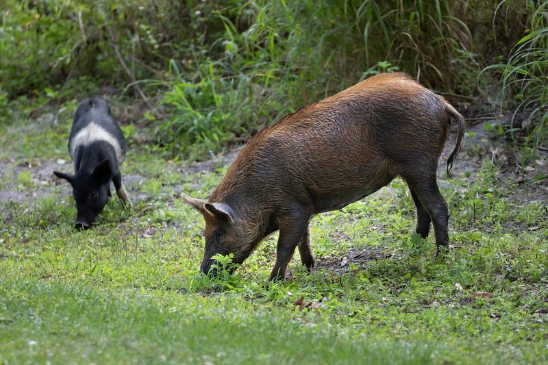 Wild Feral Pigs near Lake Hancock