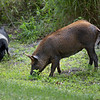 Wild Feral Pigs near Lake Hancock