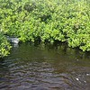11/14 Manatees and Mangroves