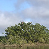 11/23 manatees and mangroves