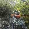 11/21 Manatees and Mangroves