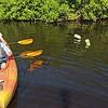 11/24 manatees & mangroves