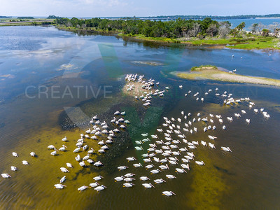 White Pelicans - Big Talbot Island, Jacksonville, FL
