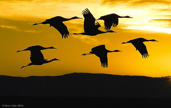 Sandhill Cranes at Dawn -- Celery Fields, Sarasota FL