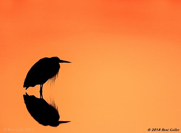 Sunrise Egret