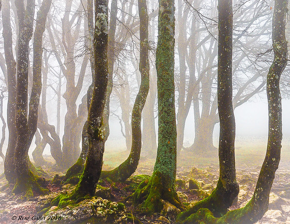Costal Forest Fog