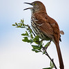Brown Thrasher, Celery Fields