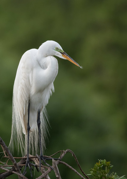 Great Egret, Venice Rookery