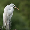Great Egret, Venice Rookery