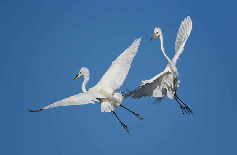 Great Egrets, Bradenton Rookery