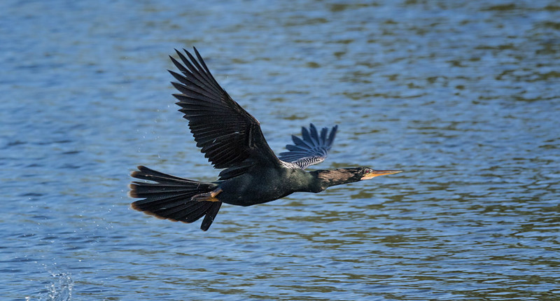 Double-crested Cormorant, Venice Rookery