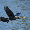 Double-crested Cormorant, Venice Rookery