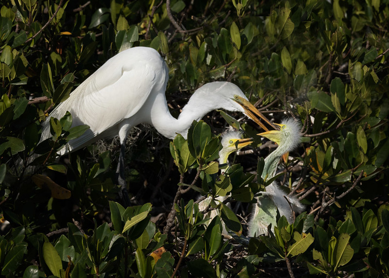 Great Egret feeding young, Bradenton Rookery