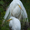 Great Egrets, Gatorland, Orlando