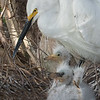 Egret and chicks, Gatorland, Orlando