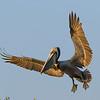 Brown Pelican, Sarasota Rookery