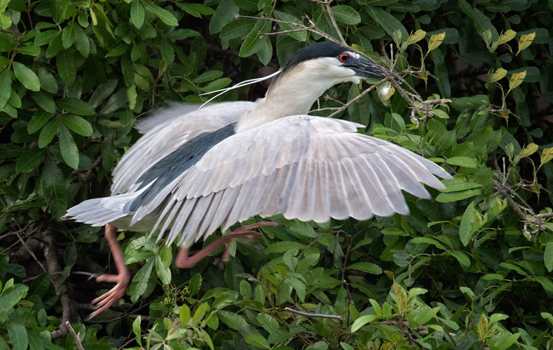 Black-crowned Night Heron - nesting materials, Venice Rookery