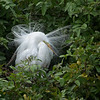 Great Egret - breeding plumage, Venice Rookery
