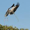 Wood Stork, nesting material, Bradenton Rookery