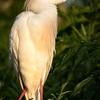 Cattle Egret, Gatorland, Orlando