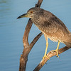 Black-crowned Night Heron, Venice Rookery