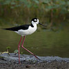 Black-necked Stilt, Celery Fields