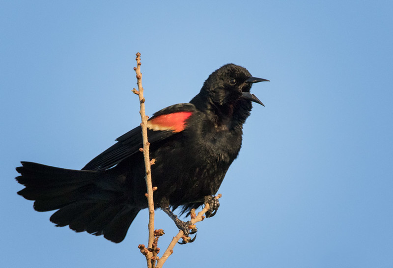 Red-winged Blackbird, Venice Rookery