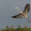 Great Blue Heron, Sarasota Rookery
