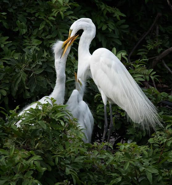 Great Egrets nesting, Venice Rookery