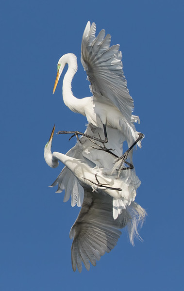 Great Egrets, Bradenton Rookery
