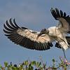 Wood Stork, Sarasota Rookery