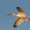 White Ibis, Bradenton Rookery