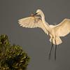 Great Egret, Bradenton  Rookery