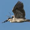 Black-crowned Night Heron, Bradenton Rookery