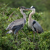 Great Blue Herons, Bradenton Rookery