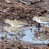 Semi-palmated Sandpipers at Key West FL