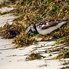 Ruddy Turnstone at the Dry Tortugas1