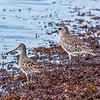 Long-billed Dowitcher and Black-bellied Plover at Long Key State Park