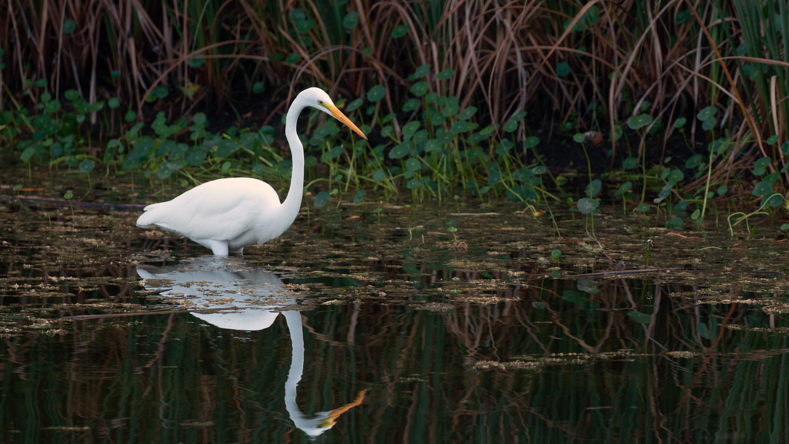 Photograph of a Great Egret