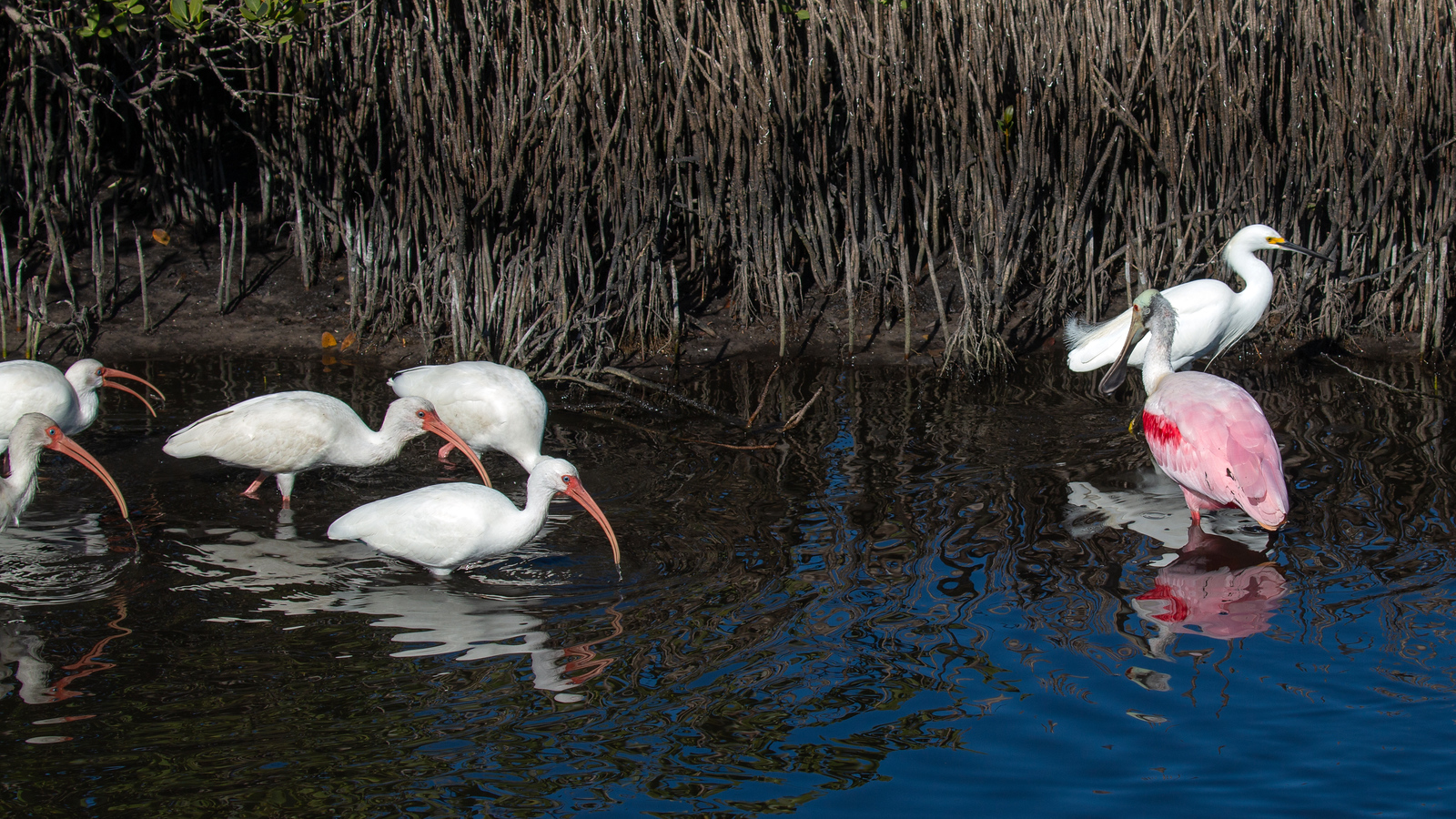 Photograph of White Ibis, Snowy Egret and Roseate Spoonbill