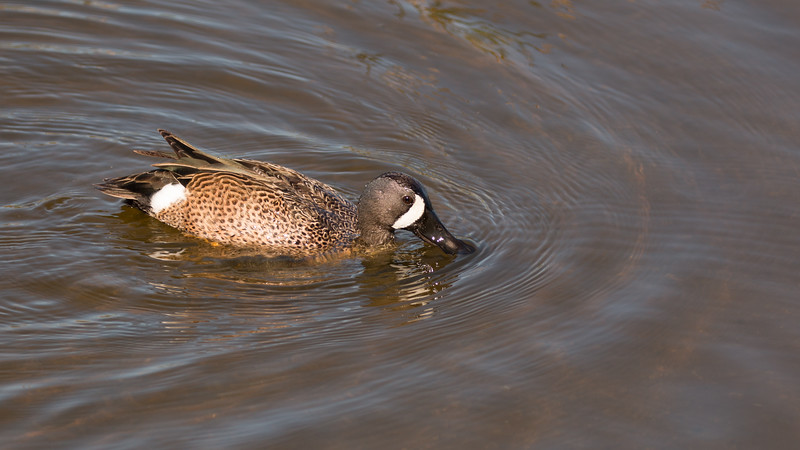 Blue-winged Teal at Green Cay