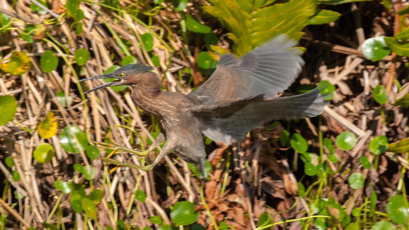 Photograph of flying Green Heron