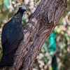 White-crowned Pigeon at Key West 2