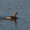 Pied-billed Grebe at Green Cay