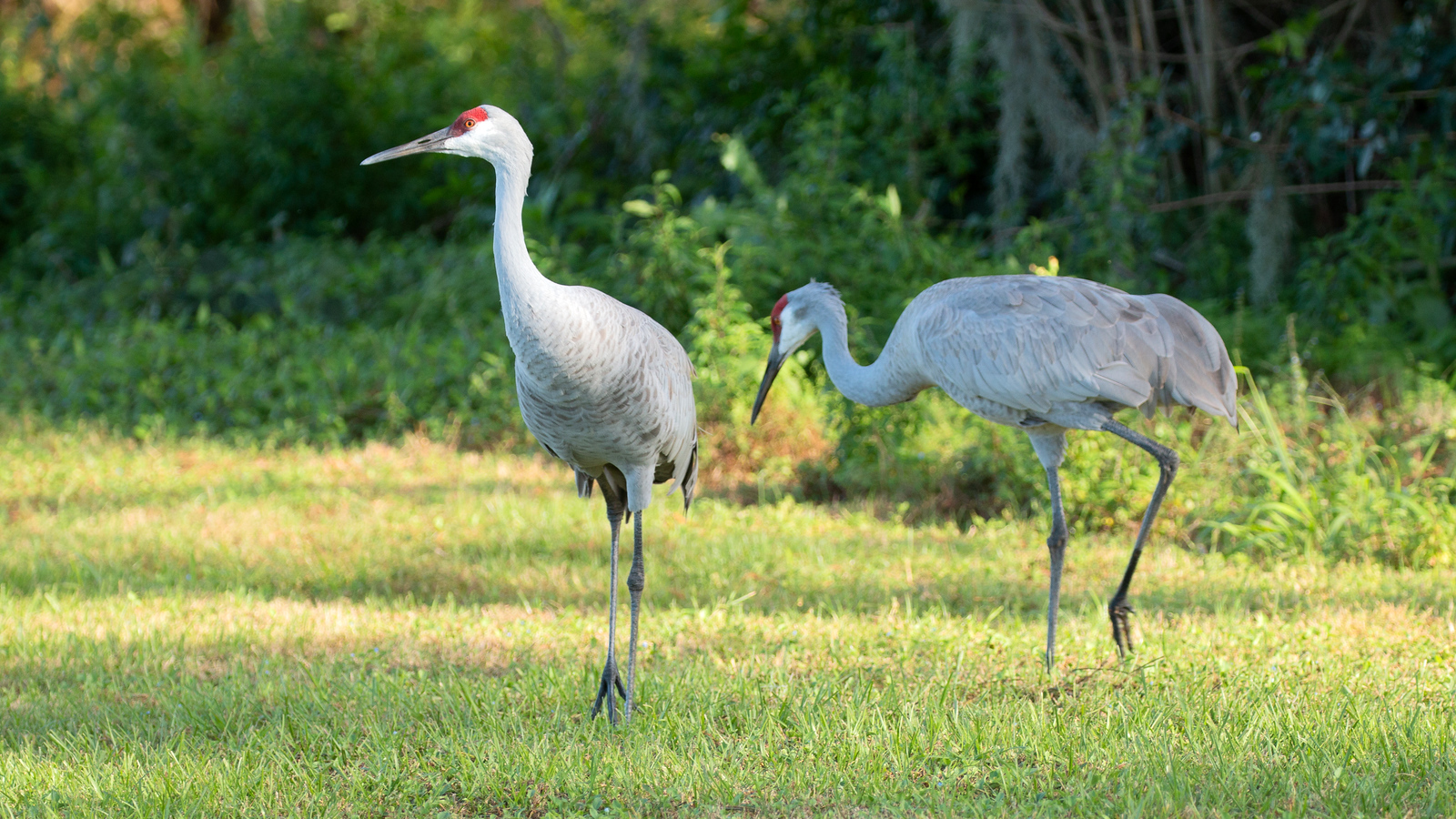 Photograph of a pair of Sandhill Cranes