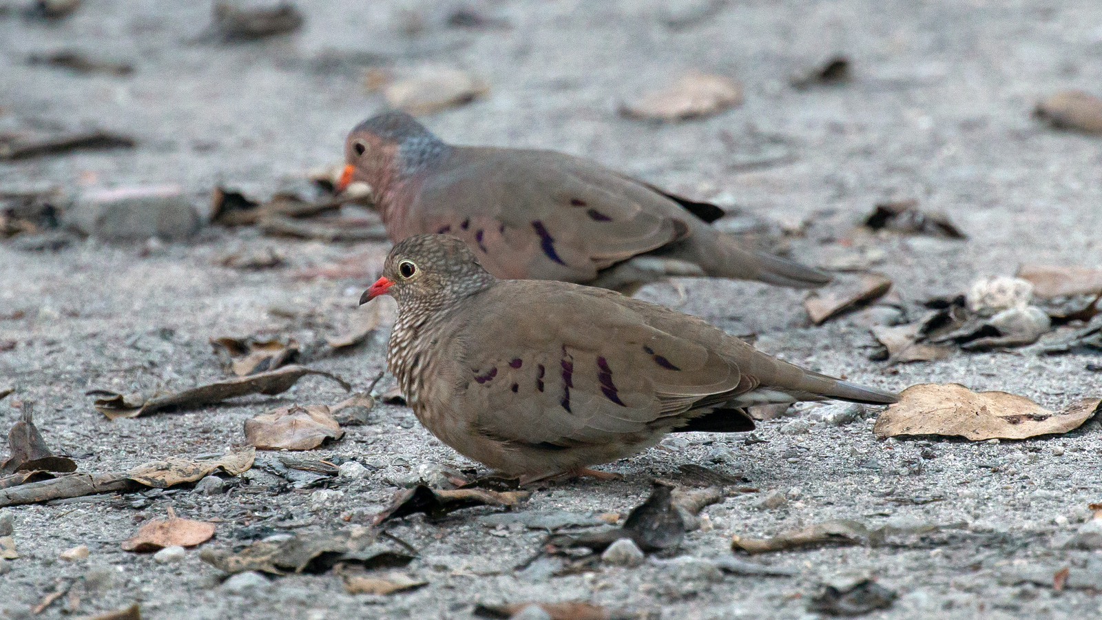 Photograph of Common Ground-Doves